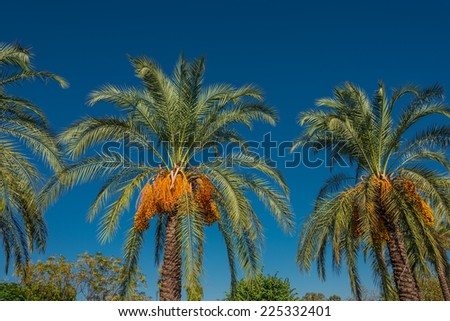 Date palm tree in front of blue sky, 2014 - stock photo