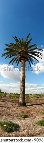 date palm tree in southern california with a blue sky with white fluffy clouds, shot with a fish eye lens for a fun and distorted unique view. - stock photo