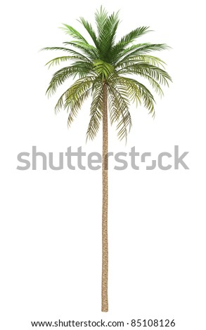 date palm tree isolated on white background - stock photo