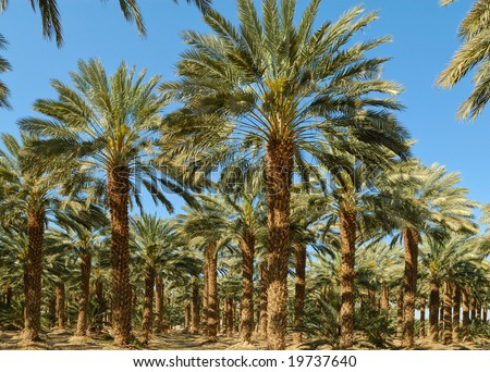 Date palms in an african oasis