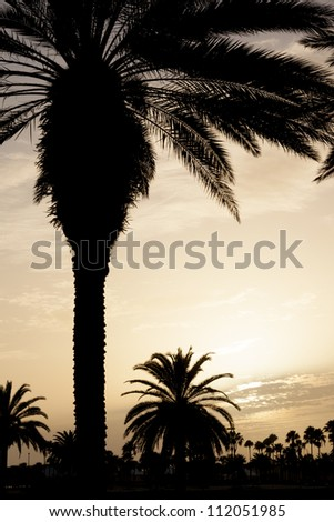 Date palms in sunset. - stock photo