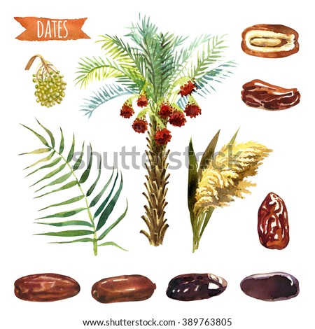 Dates, hand-painted watercolor set, vector clipping paths included - stock photo