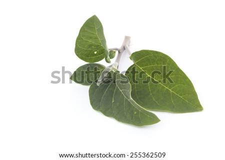 Datura inoxia branch - stock photo