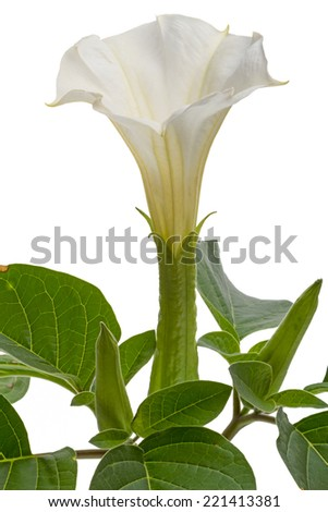 Datura - poisonous high herbaceous plant with large leaves and large white fragrant flowers. - stock photo