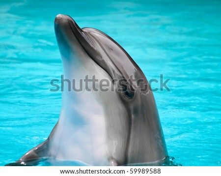 dauphin in the blue water - stock photo