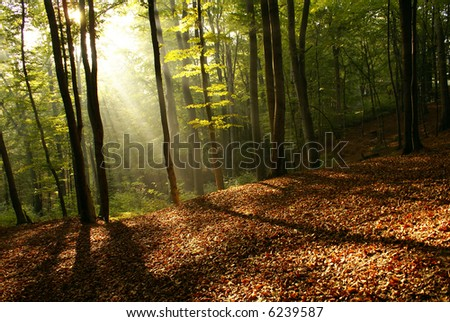 Dawn in a forest in the foggy morning - stock photo
