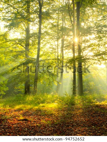 Dawn in old beech forest - stock photo