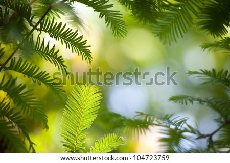 Dawn Redwood branches - stock photo