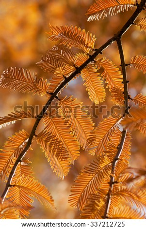 Dawn redwood branches in autumn colors. (Metasequoia glyptostroboides)