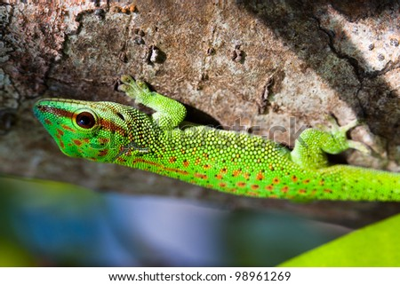 Day Gecko - stock photo