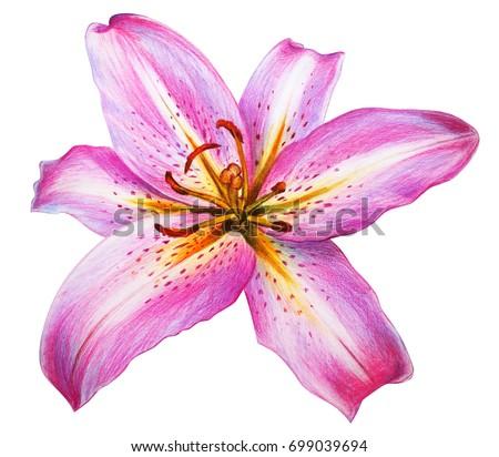 Day lily flower pink drawing oriental stock illustration 699039694 day lily flower pink drawing oriental hybrids mightylinksfo