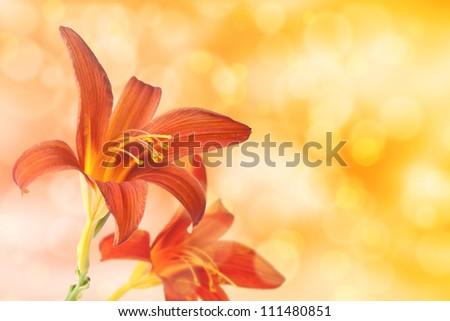 Daylilies on bokeh light effect background - stock photo
