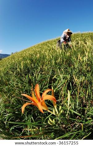 daylily - stock photo