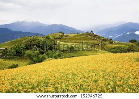 Daylily flower at sixty Stone Mountain in Taiwan  - stock photo
