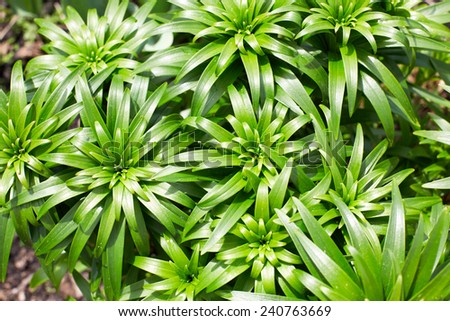 daylily green leaves after watering. top view - stock photo