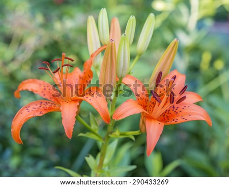 daylily is a flowering plant in the genus Hemerocallis �?h�?m�¨ro�?�?k�¦l�ªs - stock photo