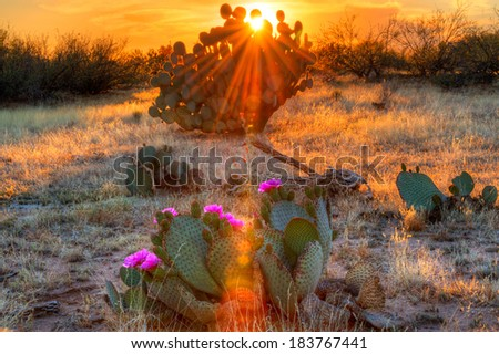 Days last sun rays reaching for blooming Prickly Pear Cactus. - stock photo