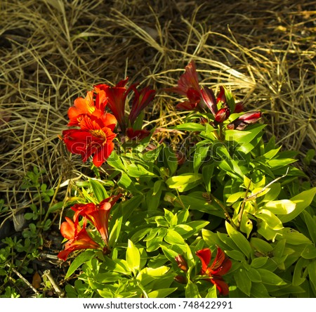 Family alstroemeriaceae - Definition : Dictionary, Words ...