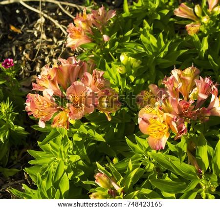 Alstroemeriaceae — The Plant List