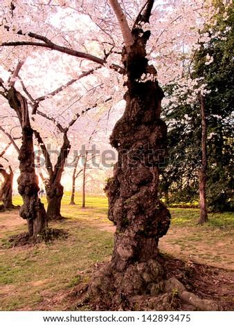 DC Cherry Blossoms - stock photo