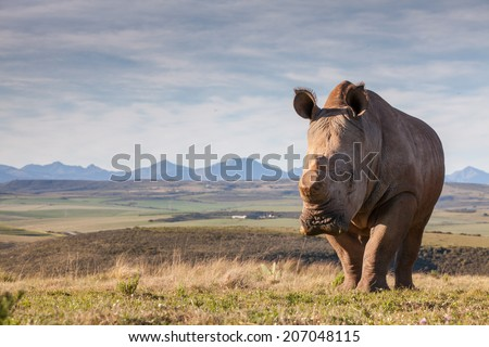 De-horned rhinoceros in the veld