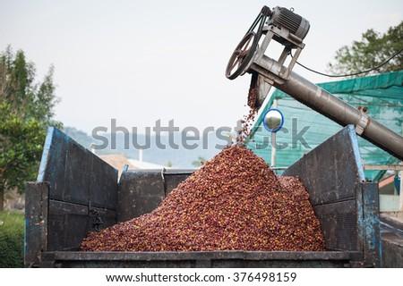 de-pulp the coffee cherries - stock photo