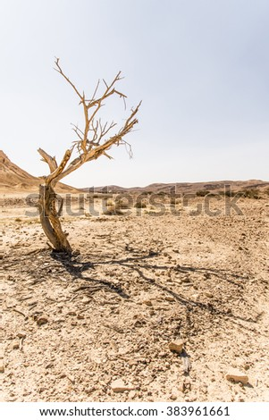 dead acacia tree  - stock photo