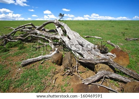 Dead acacia trees landscape on the Lake Naivasha, Kenya.  - stock photo