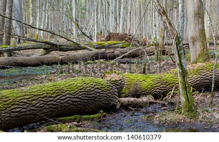 Dead ash tree moss wrapped trunks lying in springtime deciduous stand of Bialowieza Forest - stock photo