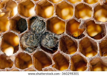 dead bees covered with dust and mites on an empty honeycomb