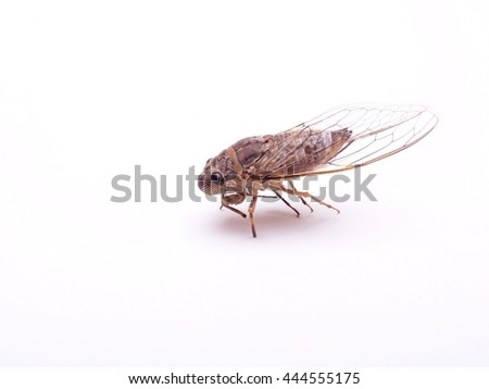 dead body of large brown insect making loud noise, tropical Cicada Platypleura, singing tropical insect picture taking in studio on white background
