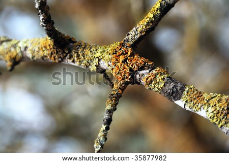 Dead branch covered by a lichen close up