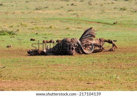Dead Buffalo  - stock photo