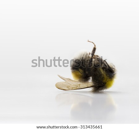Dead bumble bee on white background - stock photo