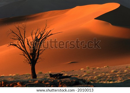 Dead camel thorn tree (Acacia erioloba) and dune, late afternoon, Sossusvlei, Namibia - stock photo