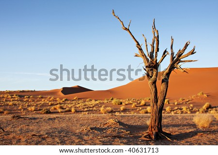 Dead camel thorn tree against the dunes