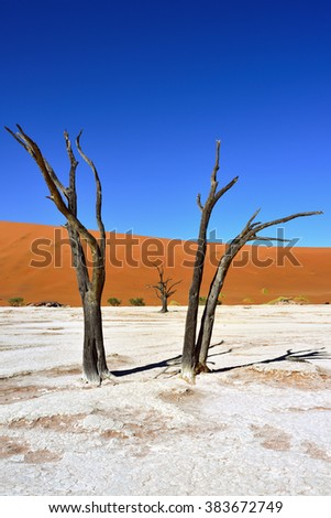 Dead Camelthorn Trees against red dunes and blue sky in Deadvlei, Sossusvlei. Namib-Naukluft National Park, Namibia, Africa. - stock photo