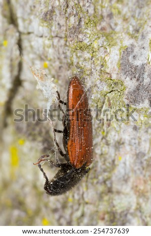 Dead Click beetle in spiders net - stock photo