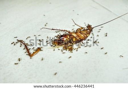 Dead cockroach eaten by ants. - stock photo