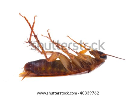 Dead  Cockroach isolated on white background