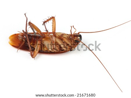 dead cockroach macro isolated on white - stock photo