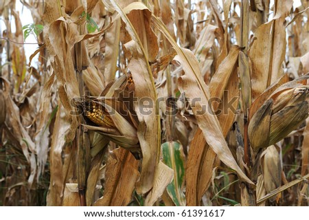 dead corn field after harvest season - stock photo