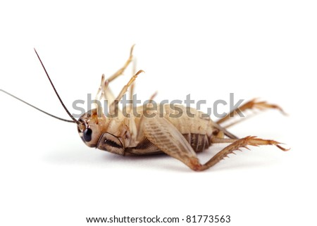 dead cricket on white. - stock photo