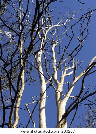 Dead Elm tree.Died from Dutch elm disease - stock photo