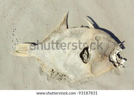 Dead fish on a beach on the Pacific coast of Ecuador - stock photo