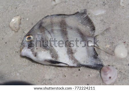 Pacific ocean seal stock photo 74344447 shutterstock dead fish on beach sand publicscrutiny Image collections
