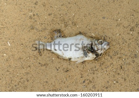 Dead fish with flies isolated on sand background - stock photo