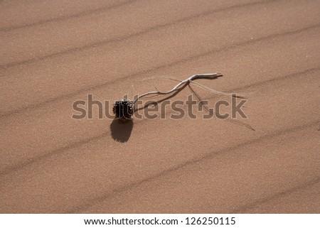 Dead flower on sand dune at Pink Coral Sands, Utah - stock photo