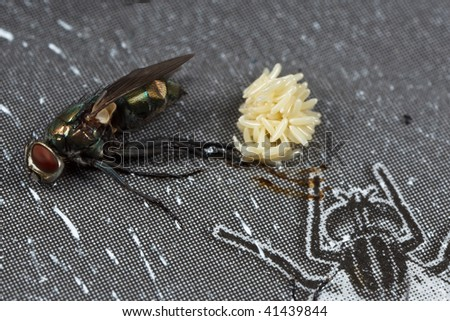 dead fly lay egg