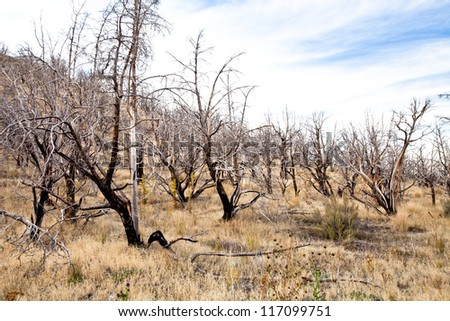 Dead Forest of Trees - stock photo